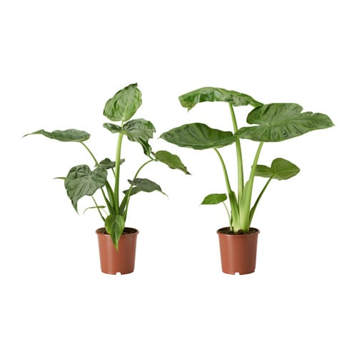 alocasia potplant ikea. Black Bedroom Furniture Sets. Home Design Ideas