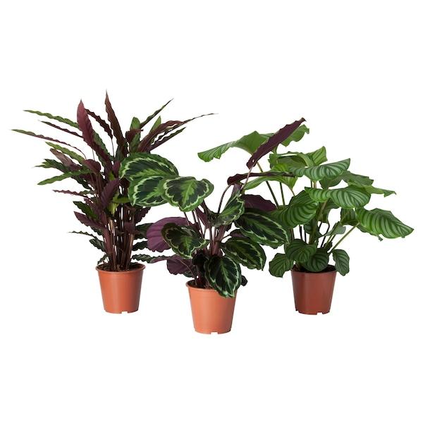 CALATHEA Potplant, Calathea/diverse soorten, 19 cm