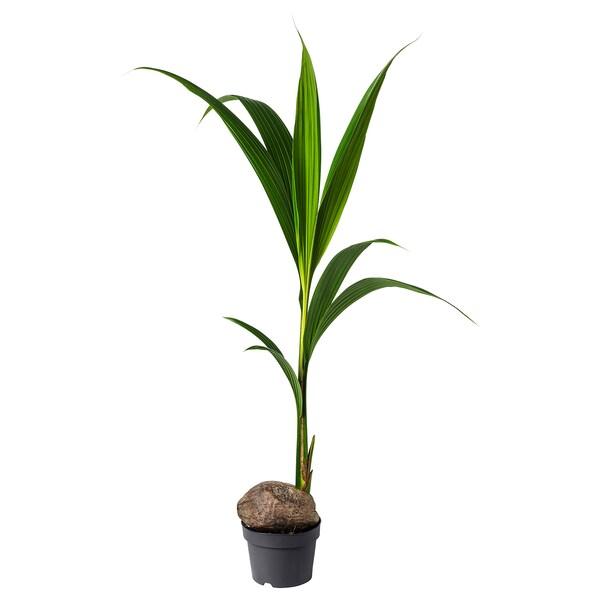 COCOS NUCIFERA Potplant, kokospalm, 19 cm