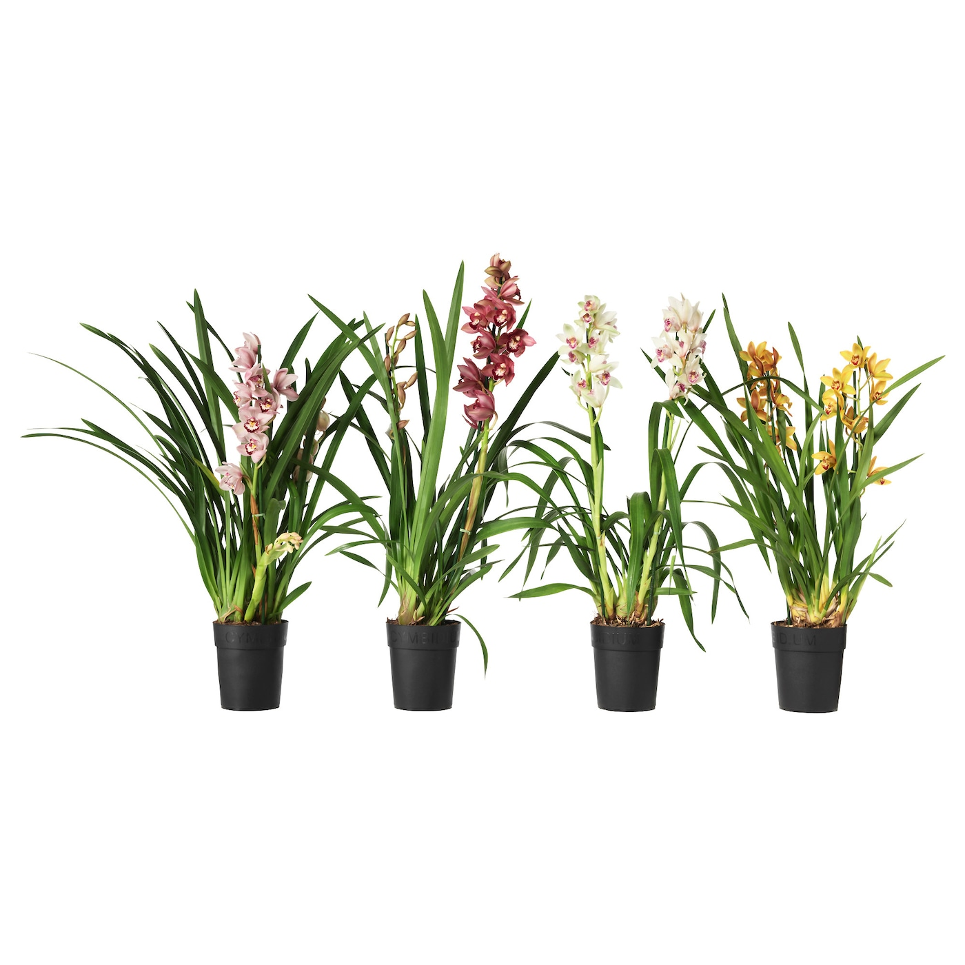 Cymbidium potplant orchidee diverse kleuren 15 cm ikea for Fausse plante ikea