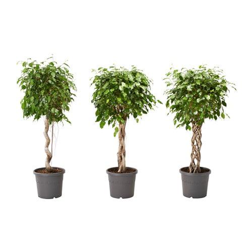 ficus benjamina potplant ficus benjamin groen blad diverse soorten 32 cm ikea. Black Bedroom Furniture Sets. Home Design Ideas