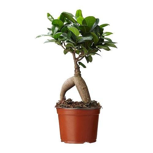 ficus microcarpa ginseng plant ikea. Black Bedroom Furniture Sets. Home Design Ideas