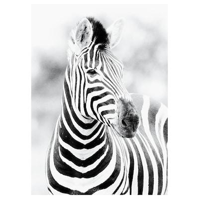 KATEBO Afbeelding zonder lijst, starende zebra, 50x70 cm