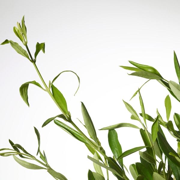 OLEA EUROPAEA Potplant, olijfboom/stam, 22 cm