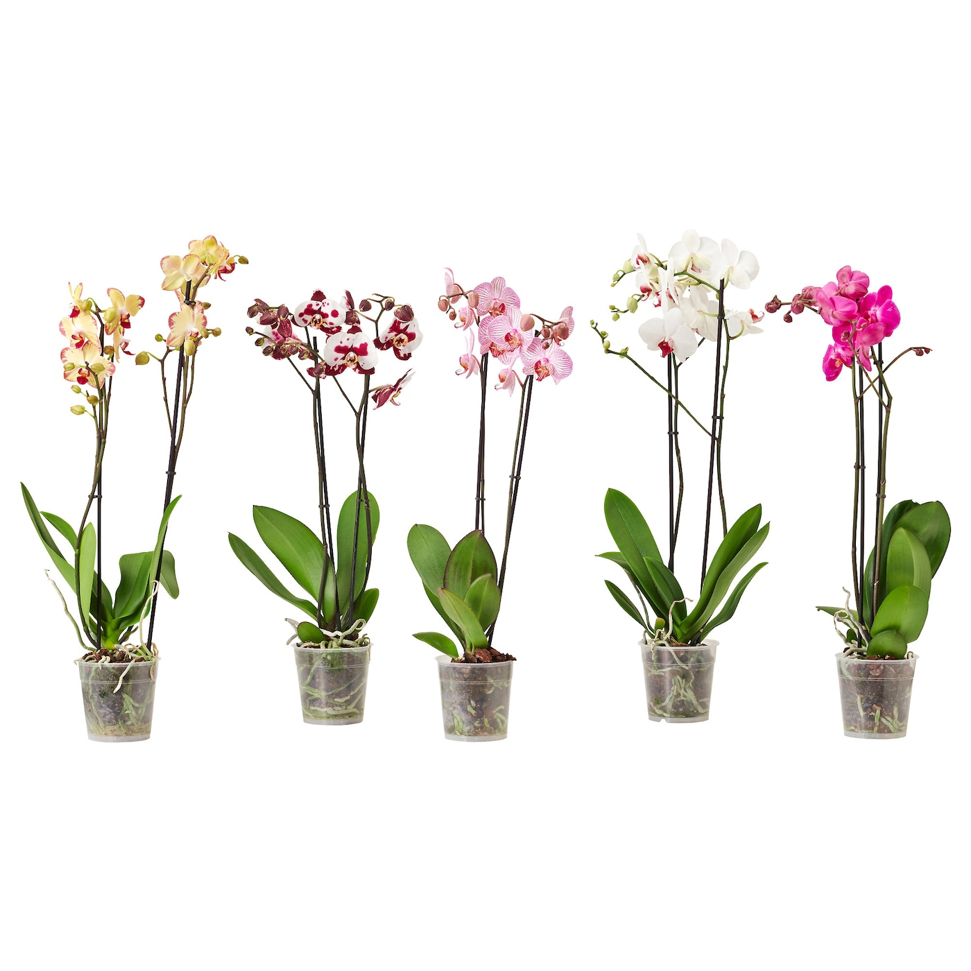 phalaenopsis potplant orchidee 2 stengels 12 cm ikea. Black Bedroom Furniture Sets. Home Design Ideas