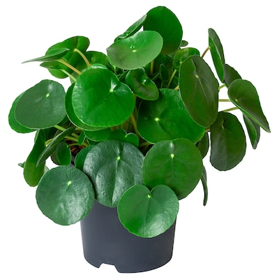 PILEA PEPEROMIOIDES Potplant, Pannenkoekenplant, 14 cm