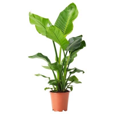 STRELITZIA Potplant, Paradijsvogelbloem, 19 cm