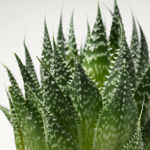 SUCCULENT plant met sierpot grijs 6 cm 7 cm