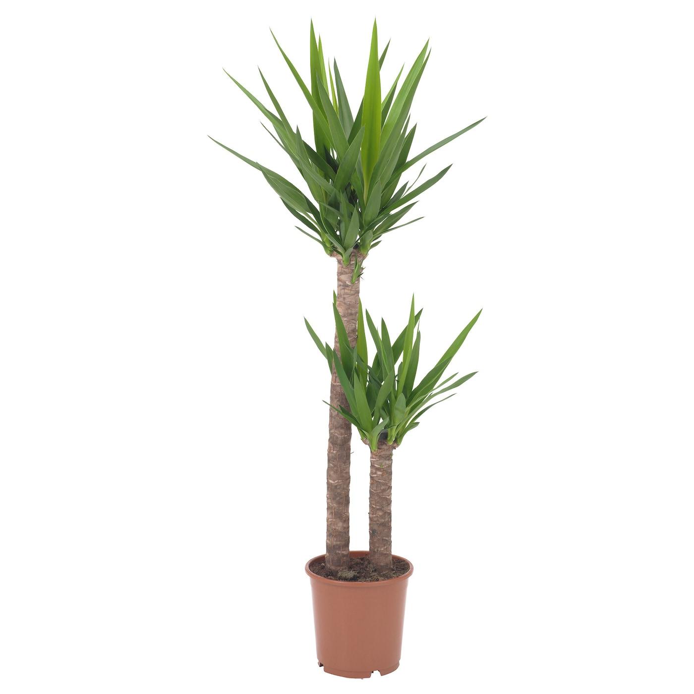 Yucca elephantipes potplant leliepalm 2 stammen 24 cm ikea for Yucca exterieur pot