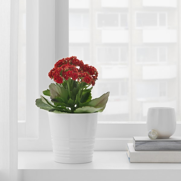 KALANCHOE Potted plant, Flaming Katy/assorted colours, 10.5 cm