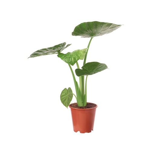 Alocasia regal shield potted plant ikea for Ikea plantes