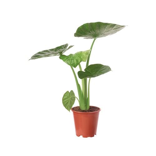 Alocasia regal shield potted plant ikea for Ikea plantes