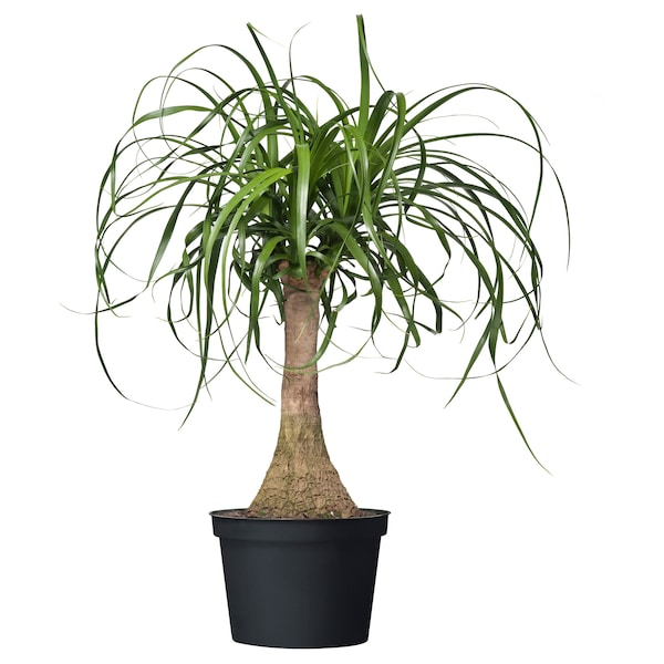 "BEAUCARNEA RECURVATA Potted plant, Elephant's foot, 6 """