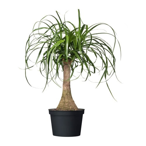 Beaucarnea recurvata potted plant ikea for Plante yucca