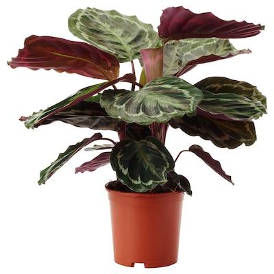 """CALATHEA LANCIFOLIA Potted plant, Rattlesnake plant, 6 """""""