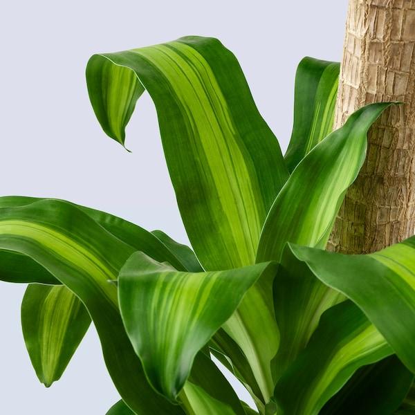 "DRACAENA MASSANGEANA Potted plant, Dom plant/3-stem, 9 ½ """