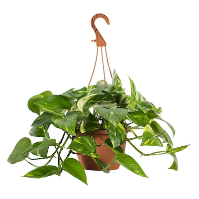 "EPIPREMNUM Hanging plant, assorted species plants, 8 """