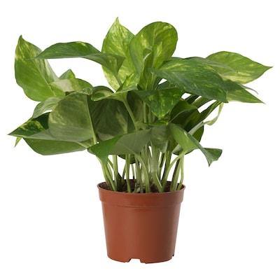 """EPIPREMNUM Potted plant, Golden Pothos, 6 """""""