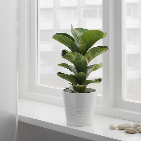 FICUS LYRATA BAMBINO Potted plant, fiddle-leaf fig, 5 ""