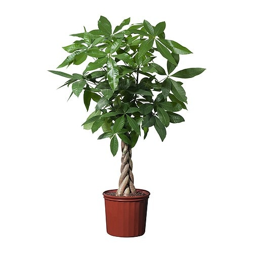 PACHIRA AQUATICA Potted plant