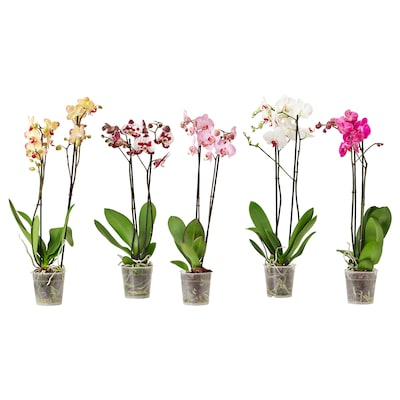 """PHALAENOPSIS Potted plant, Orchid/2-stem assorted species plants, 3 ½ """""""