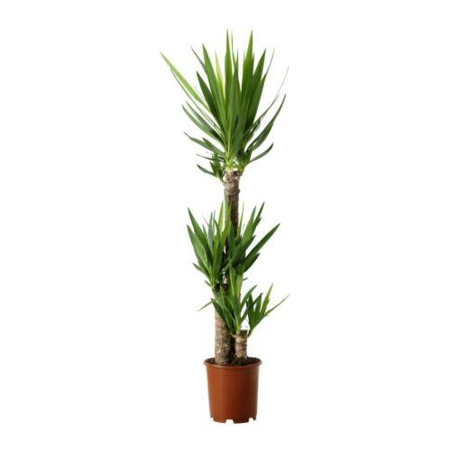 Yucca elephantipes potted plant ikea - Plante d interieur ikea ...