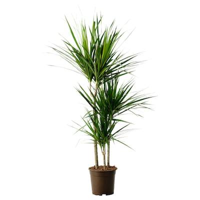 "DRACAENA MARGINATA Plante en pot, dracaena marginata/3 tiges, 8 """