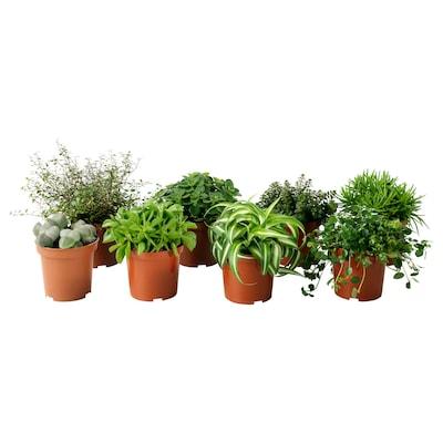 """HIMALAYAMIX Plante en pot, variées, 4 """""""