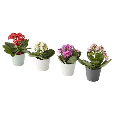 """KALANCHOE Plante avec vase, Kalanchoé calandiva couleurs variées, 2 ¼ """""""