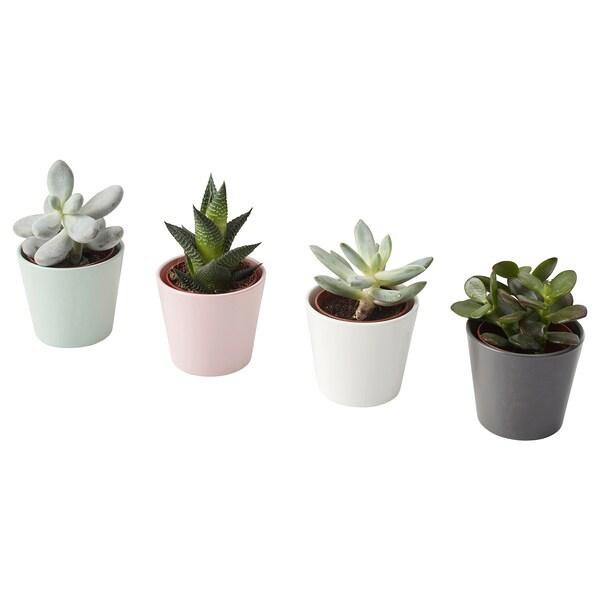 """SUCCULENT Plante avec vase, variées, 2 ½ """""""