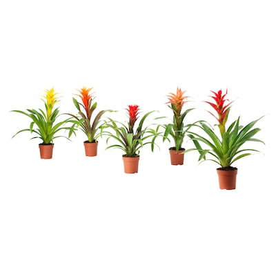 BROMELIACEAE Pflanze, Bromelie/versch. Arten, 12 cm