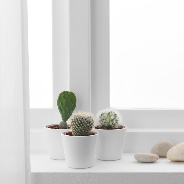 CACTACEAE Pflanze mit Übertopf, Kaktus/versch. Arten, 6 cm 3 Stück