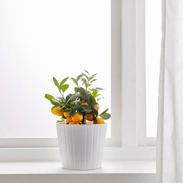 CITRUS Topfpflanze Calamondinorange 15 cm 30 cm