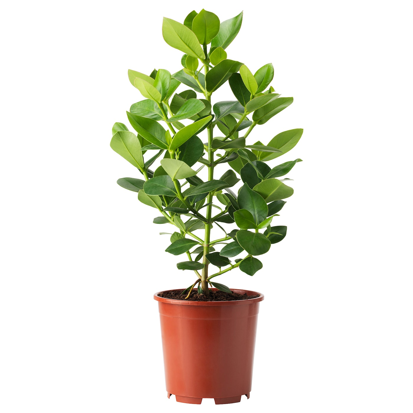 CLUSIA Pflanze - IKEA Schweiz