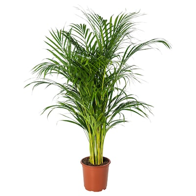 DYPSIS LUTESCENS Pflanze, Goldfruchtpalme, 21 cm