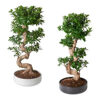 FICUS MICROCARPA GINSENG Pflanze mit Übertopf, Bonsai/versch. Farben, 40 cm