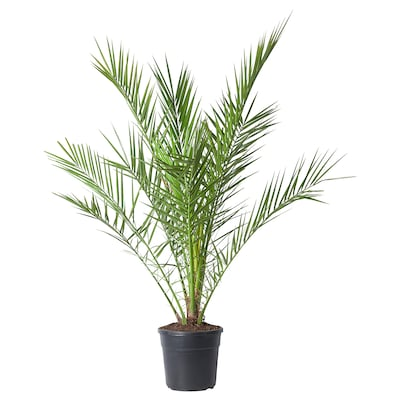 PHOENIX CANARIENSIS Pflanze, 24 cm