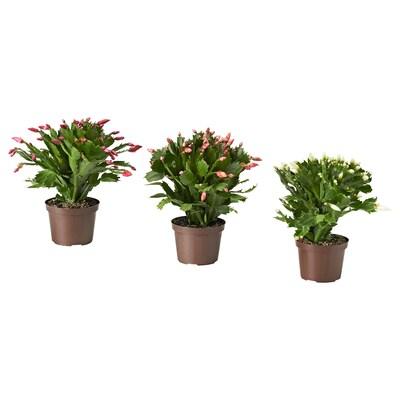 SCHLUMBERGERA Pflanze, Weihnachtskaktus, 12 cm