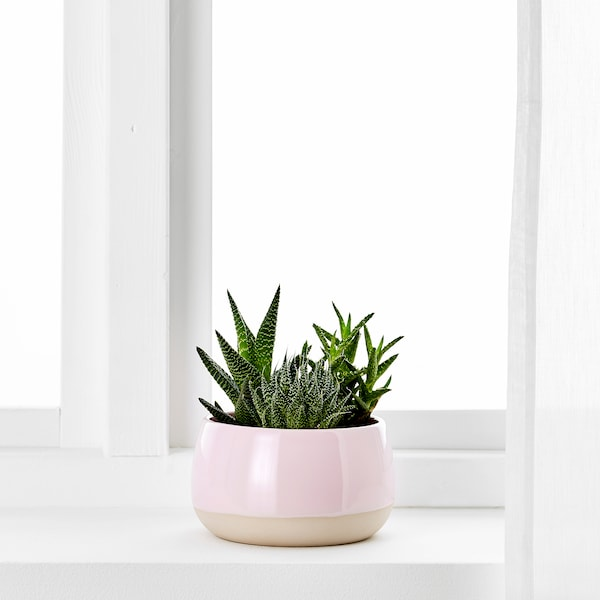 SUCCULENT Pflanze mit Übertopf, rosa, 12 cm