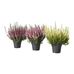 CALLUNA potted plant, heather, assorted colours