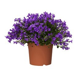 CAMPANULA PORTENSCHLAGIANA potted plant, Bell flower