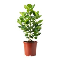 CLUSIA potted plant