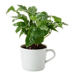 COFFEA ARABICA potted plant with mug, Coffee plant