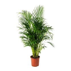 DYPSIS LUTESCENS potted plant, Areca palm