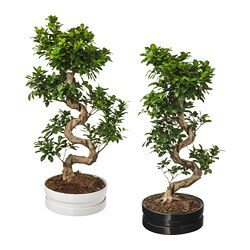 FICUS MICROCARPA GINSENG potted plant with pot, bonsai, assorted colours