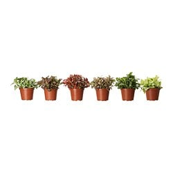 FITTONIA potted plant, mosaic plant, assorted