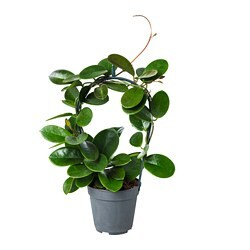HOYA potted plant, Wax plant