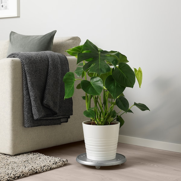 MONSTERA Potted plant, Swiss cheese plant, 21 cm