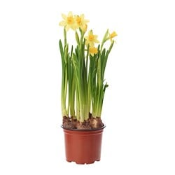 NARCISSUS CYCLAMINEUS TETE A TETE potted plant, Daffodil