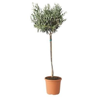 OLEA EUROPAEA Potted plant, Olive tree/stem, 22 cm